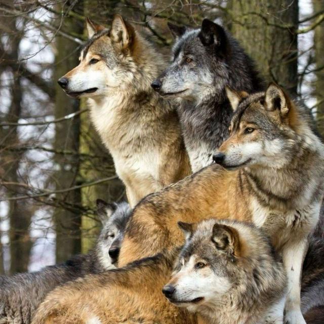 К чему снится волк беременной