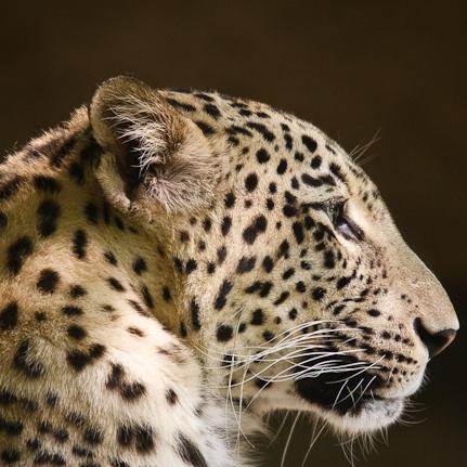 Black leopard profile